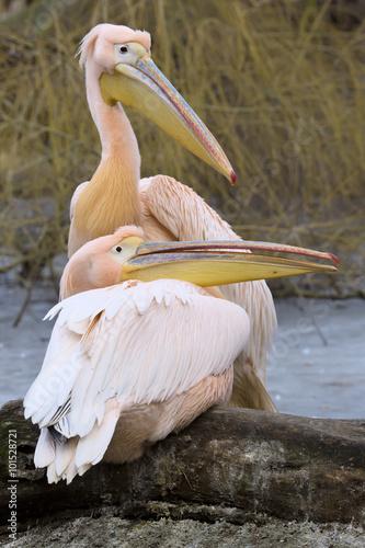 Aluminium Prints Camel a pair of Great White Pelican, Pelecanus onocrotalus, in winter color