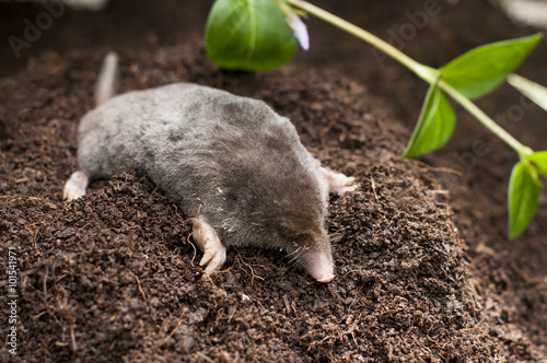 Fotografie, Obraz  Mole out of soil