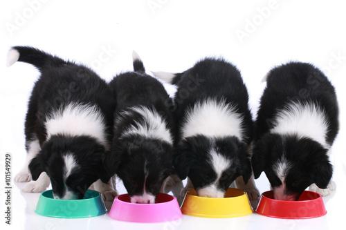 Photo  Vier Border Collie Welpen am Futternapf