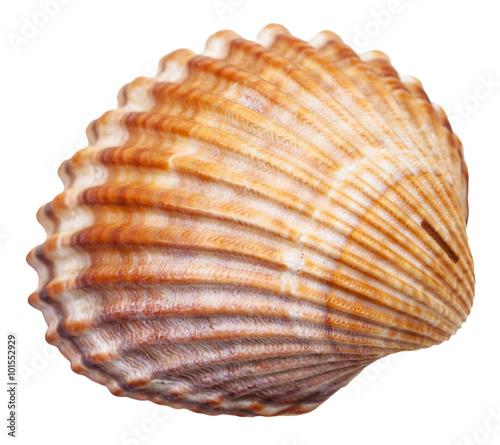 bivalvia mollusc shell isolated on white