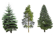 Fir-trees, Isolated On White
