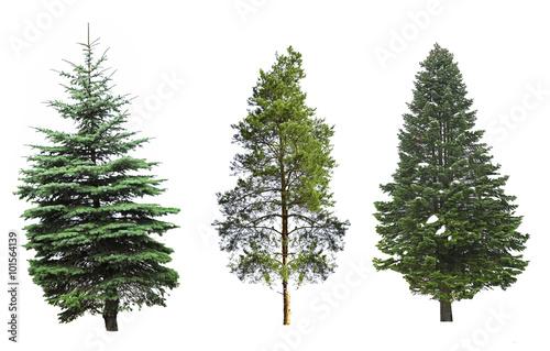 Fotografija  Fir-trees, isolated on white