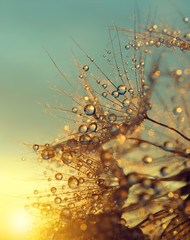 Obraz na Szkle Dmuchawce Dewy dandelion flower at sunrise close up. Natural backgrounds.