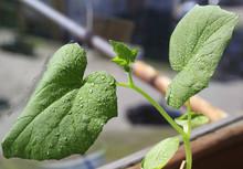 Seedlings Cucumbers. Growing S...