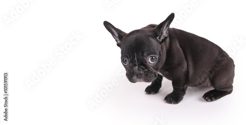 Foto op Plexiglas Franse bulldog sad female brindle French Bulldog