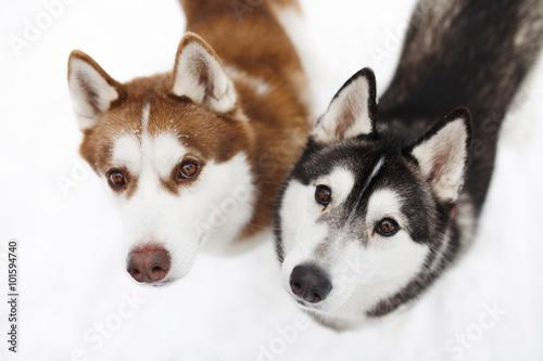psy-huskie-czarno-czerwony
