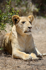 FototapetaLion in National park of Kenya, Africa