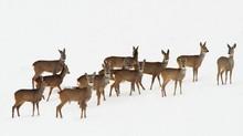 Roe Deer Herd Over White Snow