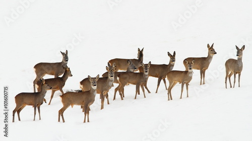 Valokuva roe deer herd over white snow