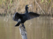 Great Cormorant - Phalacrocorax Carbo