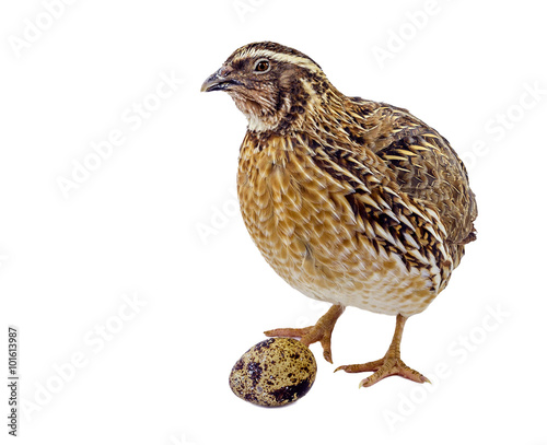 Fotografiet Adult domesticated quail with egg isolated on white background