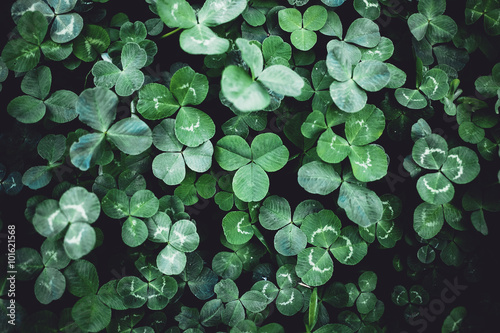Close-up of Clover leaves