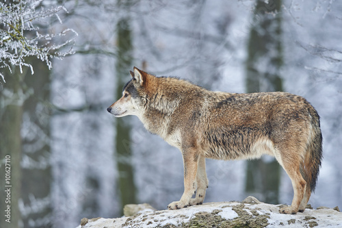 Wolf im Winter Canvas Print