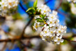 bee pollinates flowers of apple trees in the spring sunny