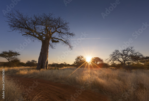 Large baobab tree without leaves at sunrise with clear sky