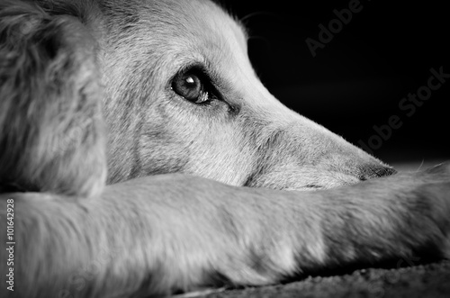Poster Chien Cocker spaniel puppy looking sad, image processed in black and w