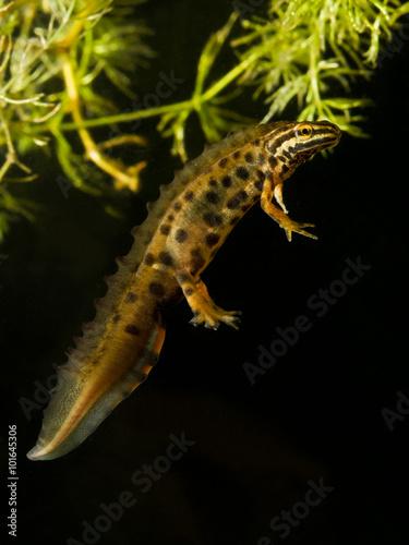 Carta da parati Common newt male  Triturus vulgaris