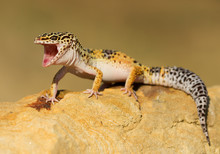 Leopard Gecko On The Rock With Open Mouth, Clean Background, Czech Republic