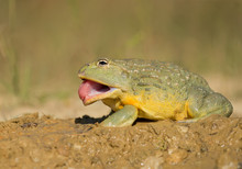 African Bullfrog In The Mud, With Prey, Clean Green Background, Czech Republic