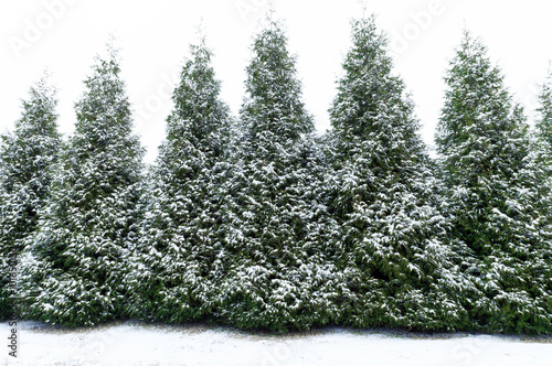 Fotografija  Snow dusted evergreen trees horizontal shot