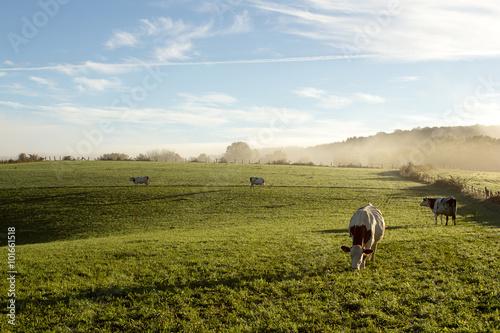 Campagne au petit matin en  Franche Comté avec vache Fotobehang