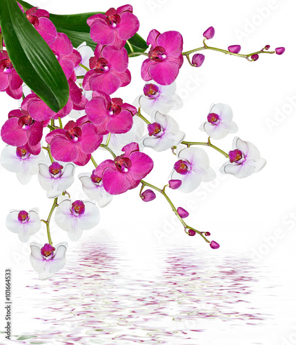 Fototapety, obrazy: Orchid flower isolated on white background