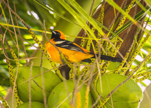 Male Hooded Oriole Sits Proudly In A Mexican Coconut Palm Tree