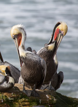 A Pod Of Brown Pelicans, Pelecanus Occidentalis