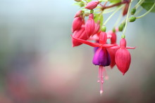 Fuchsia Flowers In Close Up