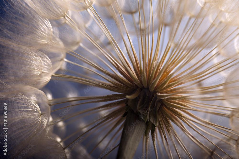 Fototapety, obrazy: big dandelion on a blue background