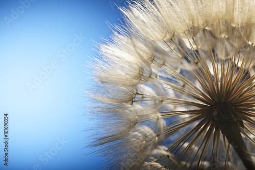 big dandelion on a blue background #101690354