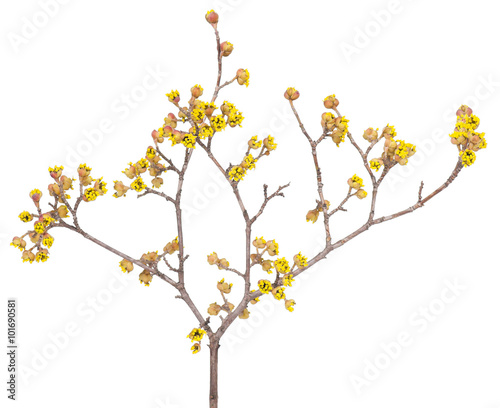 Valokuva  European cornel branch
