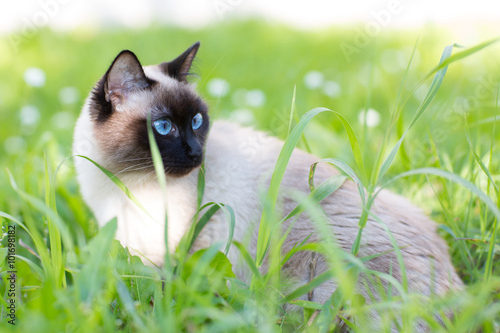 Fotografía  Siamese cat in the grass with blue eyes