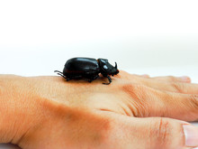 Coconut Rhinoceros Beetle Or A...