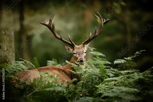 Naklejki zwierzęta  cerf-brame-chasse-bois-mammifere-roi-foret-cervide-fougere-s