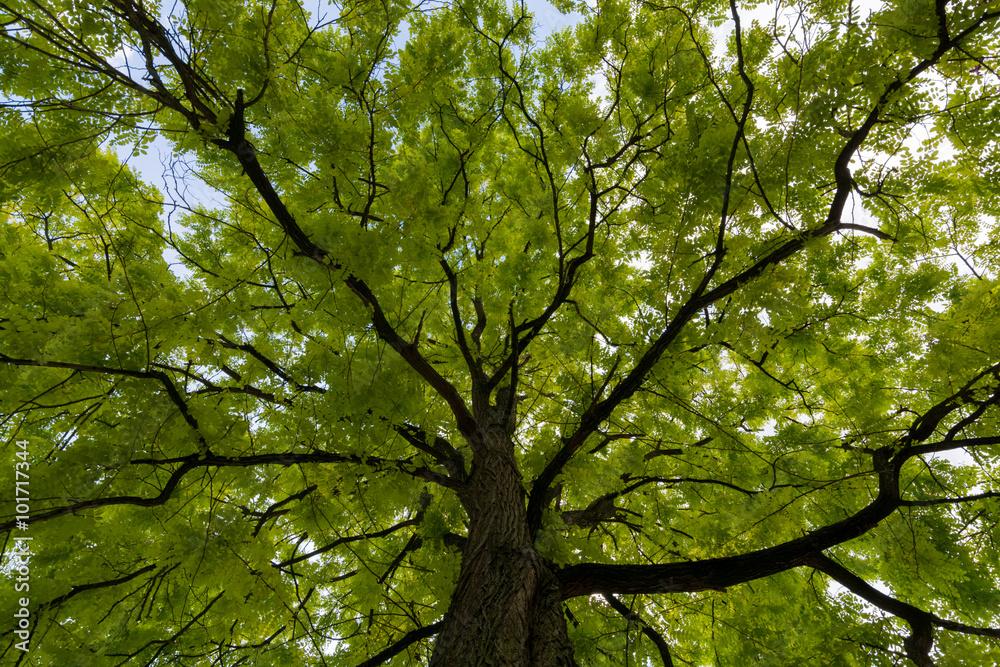 Upward view on acacia tree green crown