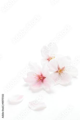 Papiers peints Cerises 桜のクローズアップ