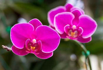 Fototapeta Pink phalaenopsis orchid flower