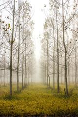 Fototapeta Drzewa arboles paralelos II