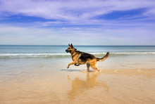 German Shepherd Dog Running On The Beach, Cape Town, South Africa