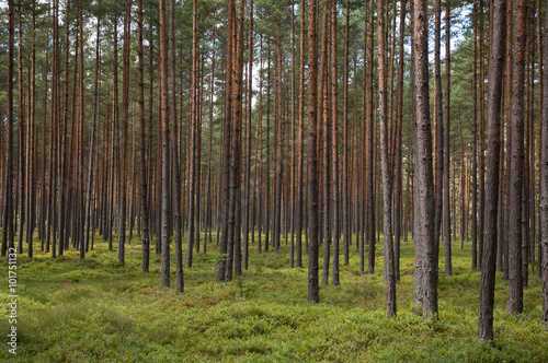 Papiers peints Forets tree trunks in a forest