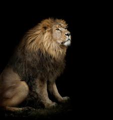 Fototapeta Lew sitting lion on black background