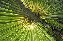 The Green Center Of A Subtropical Palmetto Fan