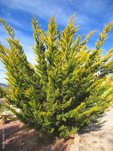 Photo  Gold Rider Leyland Cypress