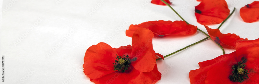 Fototapety, obrazy: Poppies - for Remembrance Day - Isolated on White - Panorama background texture.
