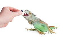 Person Feeding Iguana Blueberry