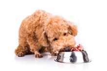 Poodle Dog Enjoying Her Nutrit...