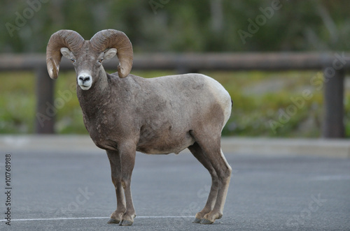 Bighorn Sheep (Ovis canadensis) stands in a parking lot near Logan's Pass in Gla Canvas Print