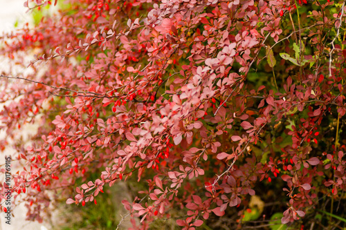 Photo Fruits and leaves of the ornamental japanese barberry (Berberis thunbergii)