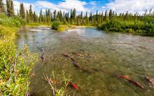 Sockeye Salmon In The Gulkana ...